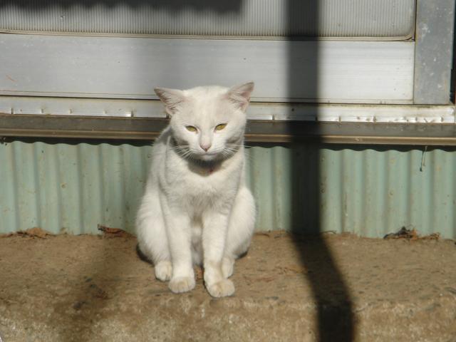 白猫みやぁこ
